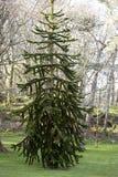 Träd för apapussel Royaltyfria Bilder