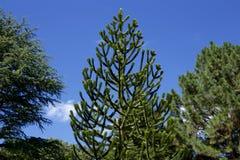Träd för apapussel Arkivbild