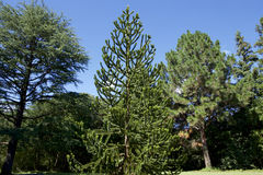 Träd för apapussel Arkivfoto
