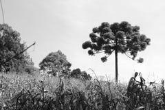 Träd för Araucà ¡ ria Arkivfoton