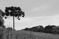 Träd för Araucà ¡ ria royaltyfri bild