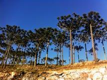 Träd för Araucà ¡ ria royaltyfria foton