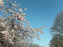 Träd för blå himmel för blomning arkivfoton