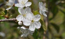 Träd för blommafruktträdgård, körsbär Royaltyfri Foto