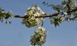 Träd för blommafruktträdgård, körsbär Royaltyfri Bild