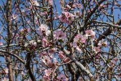 Träd för blomningrosa färg- och vitmandel över blå himmel Royaltyfria Bilder