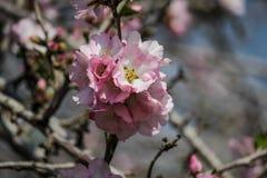 Träd för blomningrosa färg- och vitmandel över blå himmel Fotografering för Bildbyråer