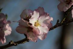 Träd för blomningrosa färg- och vitmandel över blå himmel Arkivbilder
