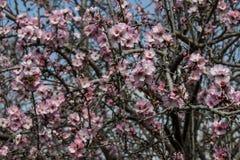 Träd för blomningrosa färg- och vitmandel över blå himmel Royaltyfri Fotografi