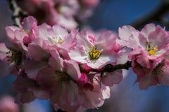 Träd för blomningrosa färg- och vitmandel över blå himmel Arkivfoto