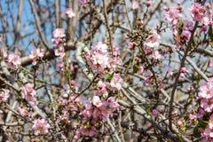 Träd för blomningrosa färg- och vitmandel över blå himmel Arkivfoton