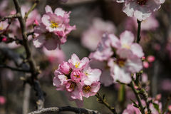 Träd för blomningrosa färg- och vitmandel över blå himmel Royaltyfri Foto