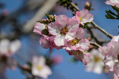 Träd för blomningrosa färg- och vitmandel över blå himmel Royaltyfri Bild