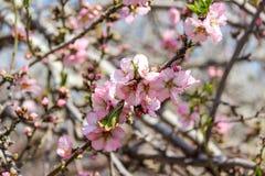 Träd för blomningrosa färg- och vitmandel över blå himmel Arkivbild