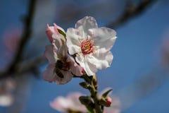Träd för blomningrosa färg- och vitmandel Royaltyfria Foton