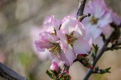 Träd för blomningrosa färg- och vitmandel Royaltyfri Fotografi
