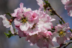 Träd för blomningrosa färg- och vitmandel Arkivbilder