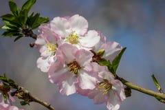 Träd för blomningrosa färg- och vitmandel Royaltyfria Bilder