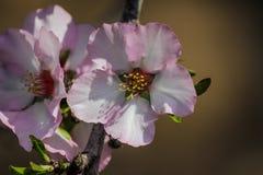 Träd för blomningrosa färg- och vitmandel Arkivbild