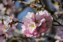 Träd för blomningrosa färg- och vitmandel Arkivfoto