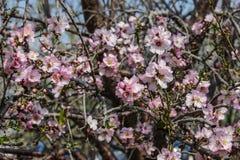 Träd för blomningrosa färg- och vitmandel Fotografering för Bildbyråer