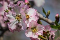 Träd för blomningrosa färg- och vitmandel med det lilla biet Arkivfoton