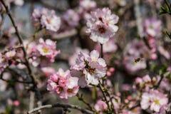 Träd för blomningrosa färg- och vitmandel med det lilla biet Royaltyfri Bild