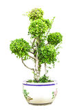 Träd för bonsaidvärggräsplan i den isolerade krukan Royaltyfri Fotografi