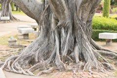 Träd för champinjonformbanyan Arkivfoto