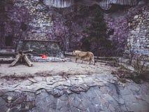 Träd för djur för vinter för Afrika lejonskog rockerar kalla arkivfoton