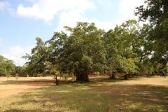 Träd för fikusBenjamina jätte Arkivfoto