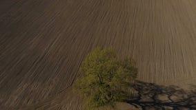 Träd för flyg- längd i fot räknat för HD enkelt, gammal ek i fältet, ultrarapid stock video