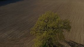 Träd för flyg- längd i fot räknat för HD enkelt, gammal ek, ultrarapid lager videofilmer
