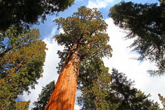 Träd för general Sherman Arkivbild
