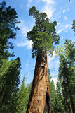Träd för general Sherman i jätte- skog av sequoianationalparken Arkivbild