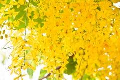 Träd för guld- dusch royaltyfri bild