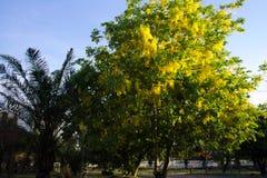 Träd för guld- dusch i parkera Arkivbilder