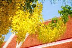 Träd för guld- regn i sommarsäsong framme av det orange tempeltaket i Thailand Arkivbilder