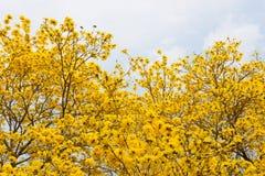 Träd för guld- trumpet Fotografering för Bildbyråer
