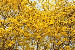 Träd för guld- trumpet Arkivbild