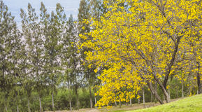 träd för guling för ํ Royaltyfri Bild