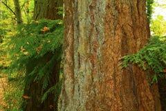 Träd för gult cederträ för Stillahavs- nordvästlig skog och för gammal tillväxt alaskabo Royaltyfri Foto