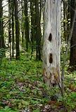 Träd för hackspett` s i skog arkivbilder