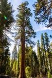 Träd för jätte- sequoia, jätte- skog, Kalifornien USA Royaltyfria Bilder