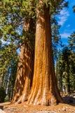 Träd för jätte- sequoia, jätte- skog, Kalifornien USA Arkivfoto