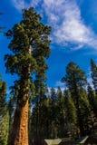 Träd för jätte- sequoia, jätte- skog, Kalifornien USA Royaltyfria Foton