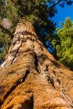 Träd för jätte- sequoia, jätte- skog, Kalifornien USA Arkivfoton