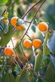 Träd för japansk persimon med frukter Royaltyfri Bild
