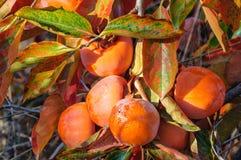 Träd för japansk persimon med frukter Fotografering för Bildbyråer