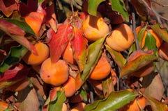 Träd för japansk persimon med frukter Arkivbild